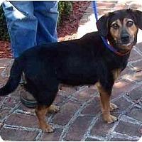 Adopt A Pet :: Midget - Toronto/Etobicoke/GTA, ON