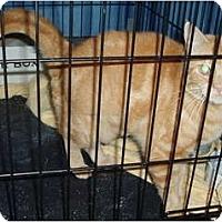 Adopt A Pet :: Mrs. Garfield - Westfield, MA