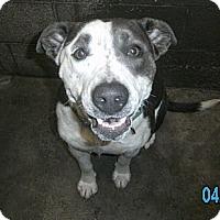 Adopt A Pet :: Dazzle - Crescent City, CA