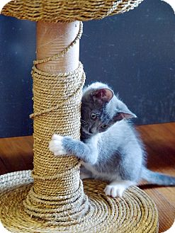 Domestic Shorthair Kitten for adoption in Chattanooga, Tennessee - Fergus