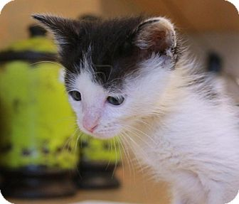 Domestic Shorthair Kitten for adoption in Flower Mound, Texas - Grasshopper