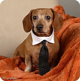 Dachshund Mix Dog for adoption in Las Vegas, Nevada - Oscar