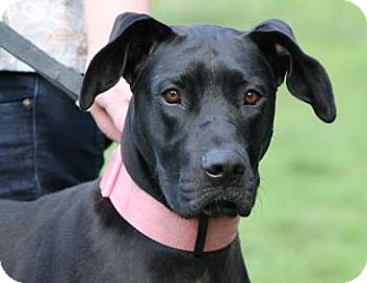 Great Dane/Labrador Retriever Mix Dog for adoption in Chicago, Illinois - Lucy*ADOPTED!*