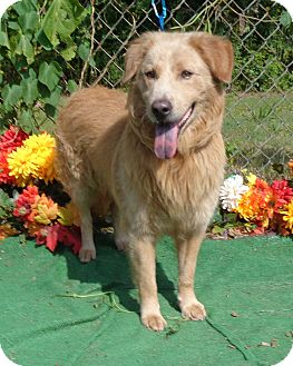 Golden Retriever Mix Dog for adoption in Marietta, Georgia - ARCHIE - reclaimed