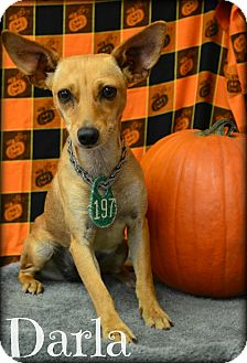 Chihuahua Mix Dog for adoption in Beaumont, Texas - Darla