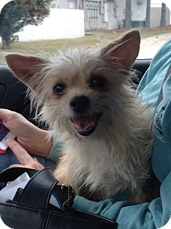 Yorkie, Yorkshire Terrier/Dachshund Mix Dog for adoption in Metairie, Louisiana - Cayla