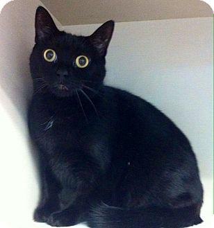 Domestic Shorthair Cat for adoption in Port Hope, Ontario - Bella