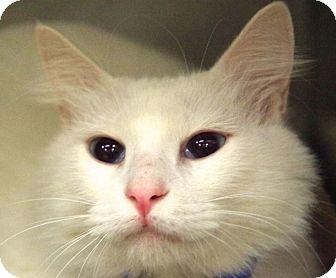 Domestic Mediumhair Cat for adoption in Daytona Beach, Florida - Toby