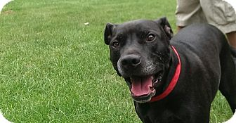 Labrador Retriever/Staffordshire Bull Terrier Mix Dog for adoption in China, Michigan - Spade - Pending Adoption