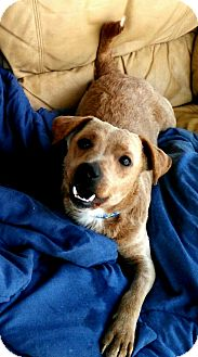Chihuahua Mix Dog for adoption in San Diego, California - Traveler
