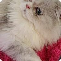 Adopt A Pet :: Clark - Beverly Hills, CA