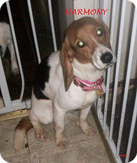 Beagle Dog for adoption in Ventnor City, New Jersey - HARMONY
