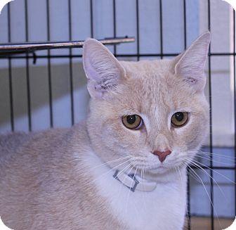 American Shorthair Cat for adoption in Lumberton, North Carolina - Cody