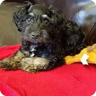 Schnauzer (Standard)/Yorkie, Yorkshire Terrier Mix Puppy for adoption in Rancho Cucamonga, California - Max
