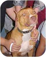American Staffordshire Terrier Dog for adoption in New Philadelphia, Ohio - Sadie - Courtesy