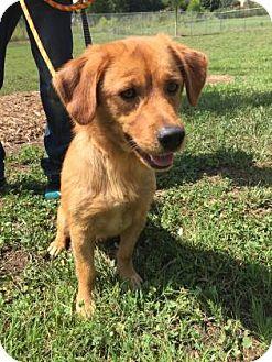 Spaniel (Unknown Type) Mix Dog for adoption in Cumming, Georgia - Gunner
