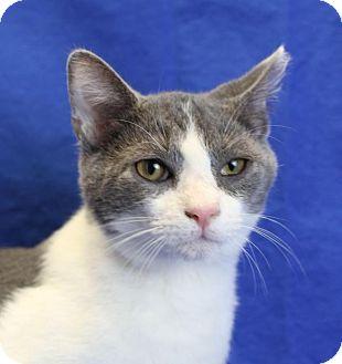 Domestic Shorthair Kitten for adoption in Winston-Salem, North Carolina - Guy Fieri