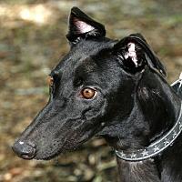 Adopt A Pet :: Bella - Longwood, FL