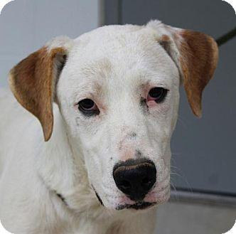 Labrador Retriever/Great Pyrenees Mix Puppy for adoption in Washington, D.C. - Otis