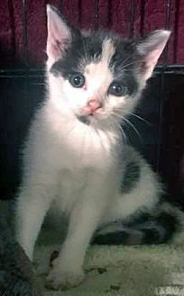 Domestic Shorthair Kitten for adoption in Queens, New York - Mickey
