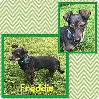 Adopt A Pet :: Freddie - Fort Wayne, IN