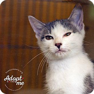 Domestic Shorthair Kitten for adoption in Lyons, New York - Patrick