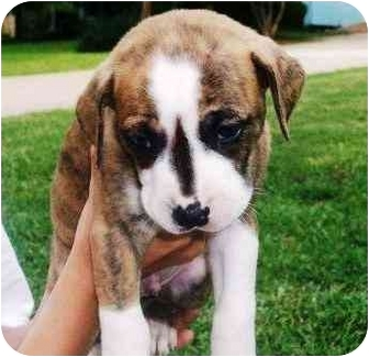 Boxer Mix Puppy for adoption in Seneca, South Carolina - JAY JAY