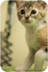 Domestic Shorthair Kitten for adoption in Chicago, Illinois - Etta James