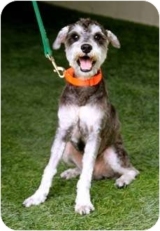 Schnauzer (Standard)/Poodle (Miniature) Mix Dog for adoption in Mission Viejo, California - Maxwell