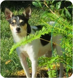 Rat Terrier Mix Dog for adoption in Concord, California - Bandit