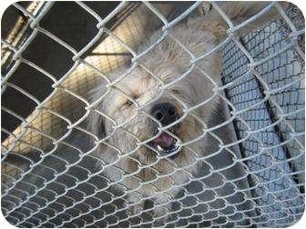 Sheltie, Shetland Sheepdog Mix Dog for adoption in Henderson, North Carolina - Benji