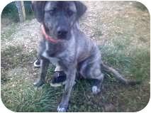Plott Hound/Labrador Retriever Mix Dog for adoption in Harrisonburg, Virginia - Moonshine