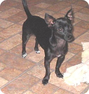 Chihuahua Mix Puppy for adoption in Chandler, Arizona - Spike