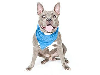 American Pit Bull Terrier/American Staffordshire Terrier Mix Dog for adoption in Orlando, Florida - Fletch