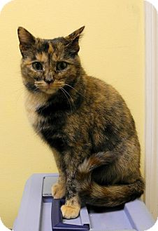Domestic Shorthair Cat for adoption in St. Louis, Missouri - Phoebe