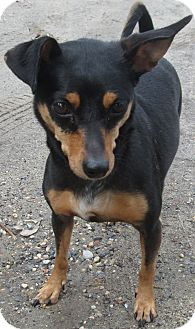Miniature Pinscher Dog for adoption in Forked River, New Jersey - Mollie