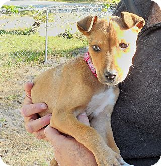 Chihuahua Mix Puppy for adoption in Ormond Beach, Florida - Rosie