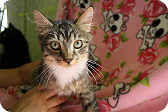 Domestic Mediumhair Kitten for adoption in Fountain Hills, Arizona - PAULO