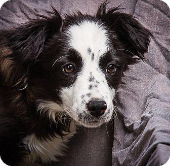 Border Collie Mix Puppy for adoption in Anna, Illinois - ZETTA