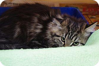 Domestic Longhair Kitten for adoption in Elyria, Ohio - Bianca