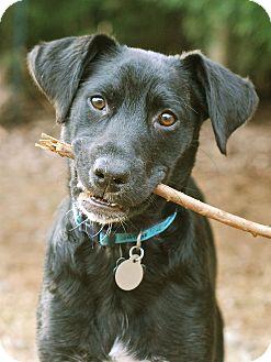 Labrador Retriever Mix Dog for adoption in Homewood, Alabama - Jacob