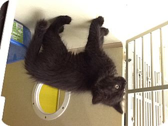 Domestic Mediumhair Kitten for adoption in Warren, Ohio - Spice