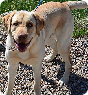 Labrador Retriever Mix Dog for adoption in Fruit Heights, Utah - Herman