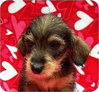 Miniature Schnauzer/Yorkie, Yorkshire Terrier Mix Puppy for adoption in Old Fort, North Carolina - Hobo