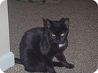 Domestic Shorthair Cat for adoption in Acushnet, Massachusetts - Salem