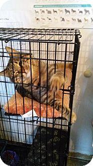 American Shorthair Cat for adoption in Glenpool, Oklahoma - Marlo