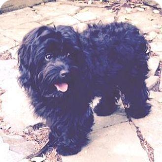 Cockapoo Mix Dog for adoption in Atlanta, Georgia - BeBe