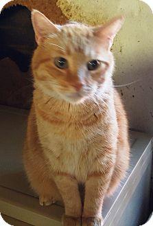 Domestic Shorthair Cat for adoption in Pasadena, California - Mickey