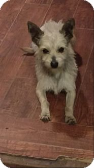 Terrier (Unknown Type, Small)/Poodle (Miniature) Mix Dog for adoption in San Diego, California - Chuck
