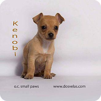 Chihuahua Mix Puppy for adoption in Hurricane, Utah - Kenobi